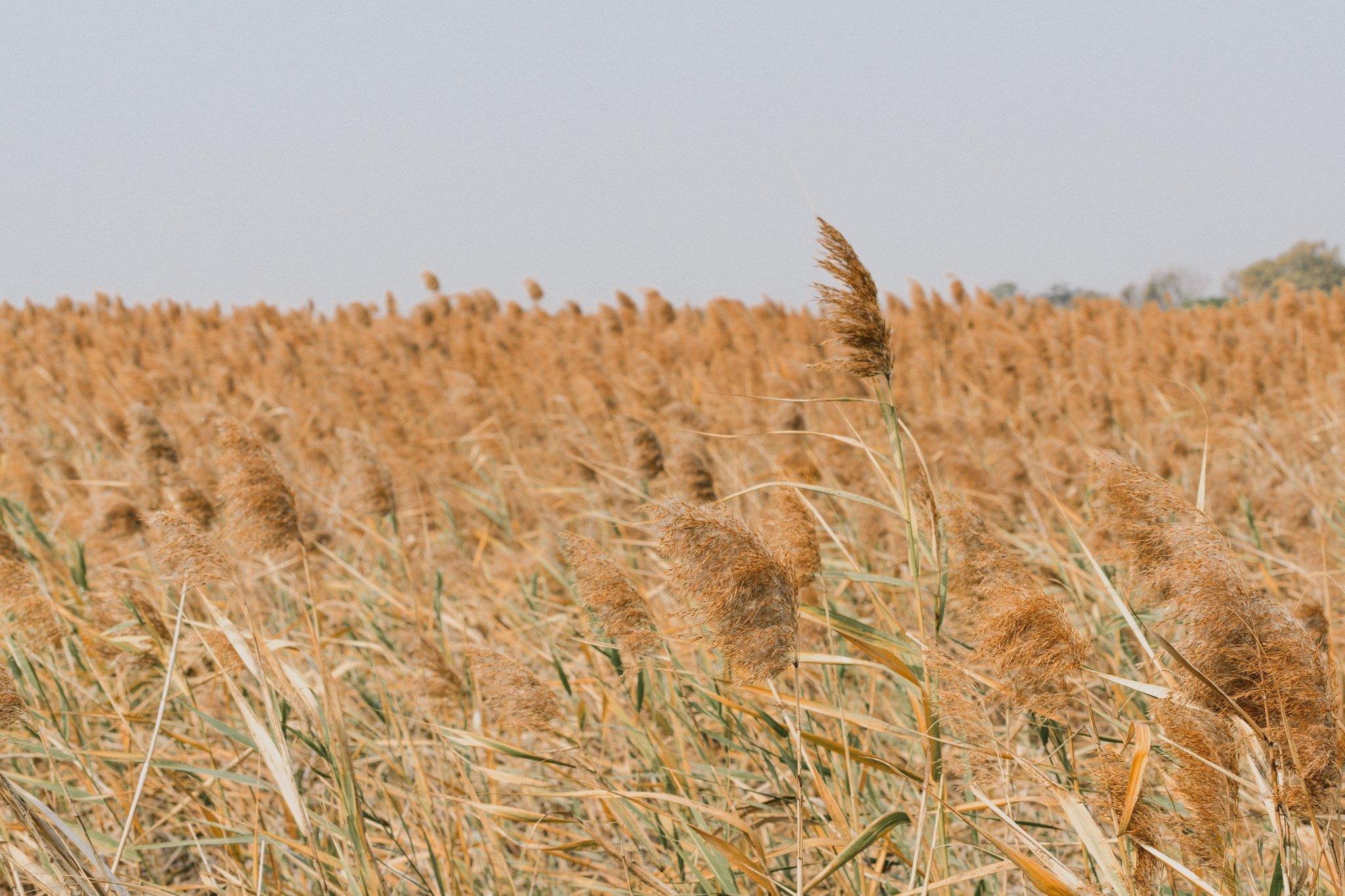 12. Water reeds