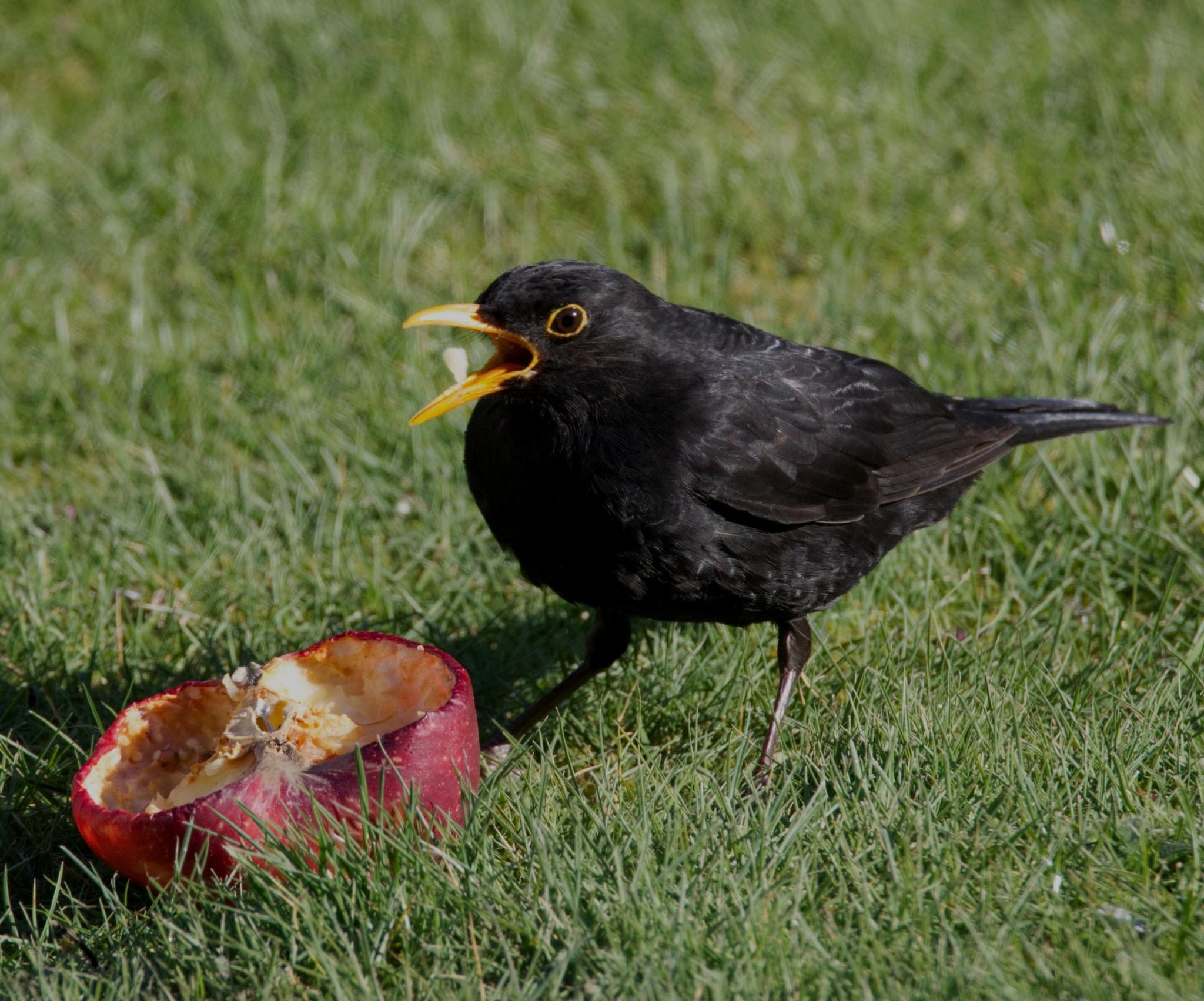 Blackbird Male 004