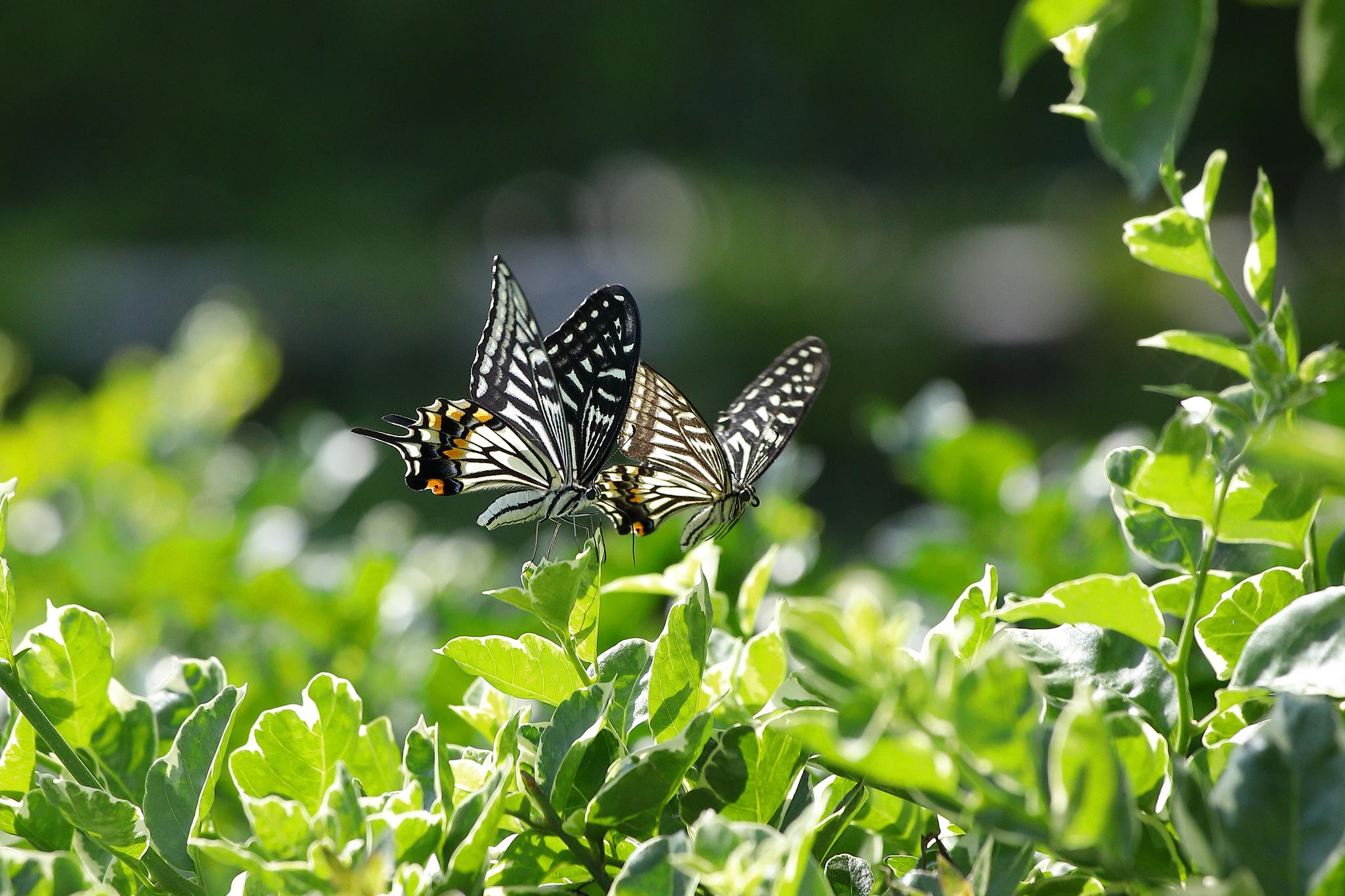 28. Dance of the Butterflies