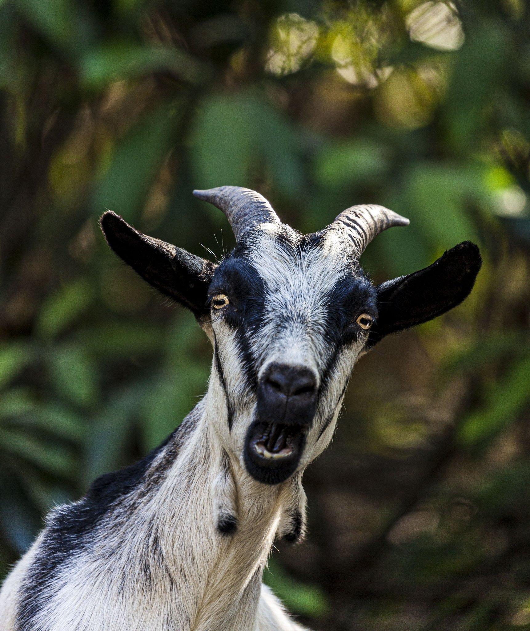 4. GoatieSmile