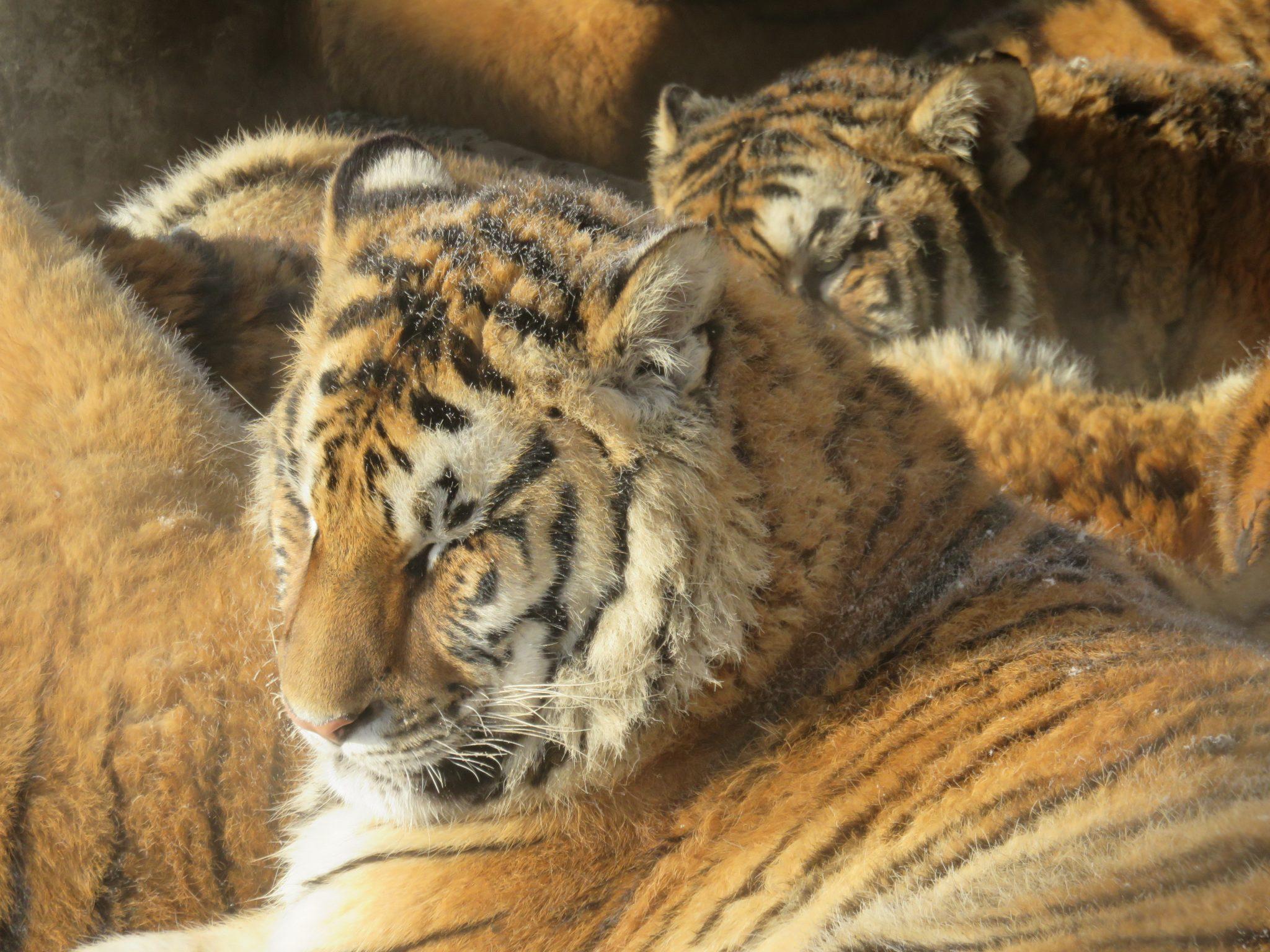14.Ling-Suter-Siberian-TigersDS
